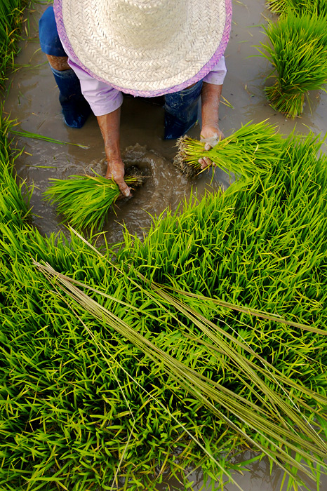 Gathering Rice Shoots