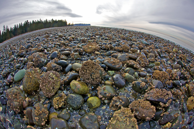 Birch Bay Barnacles
