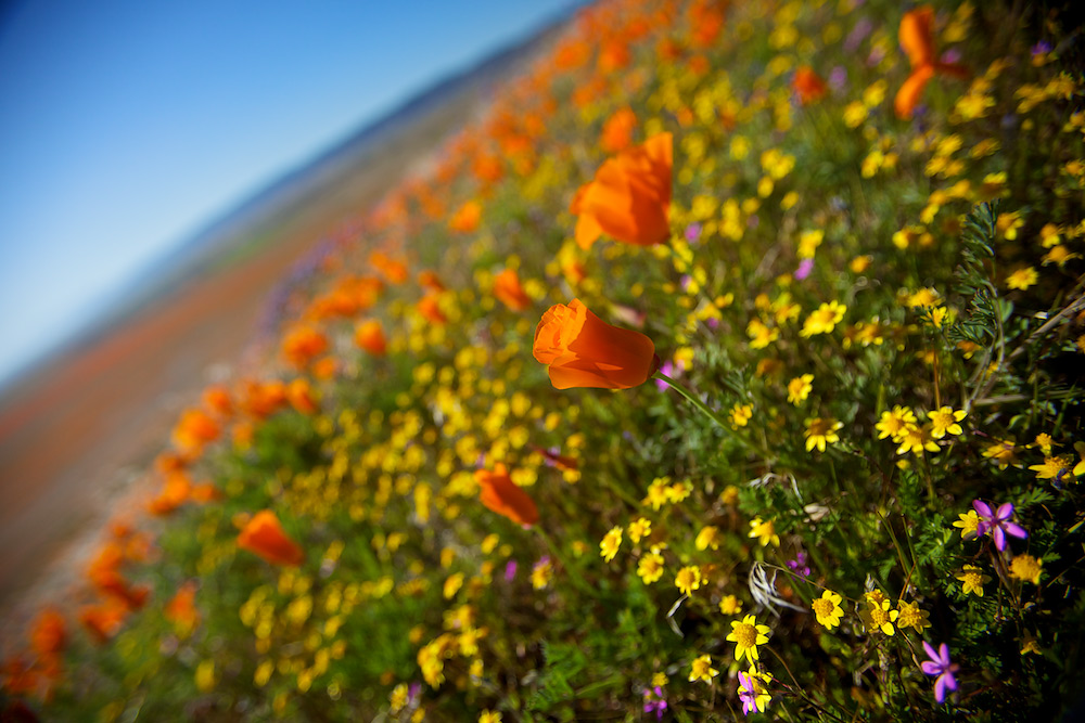 Desert Bloom - Antelope Valley, CA