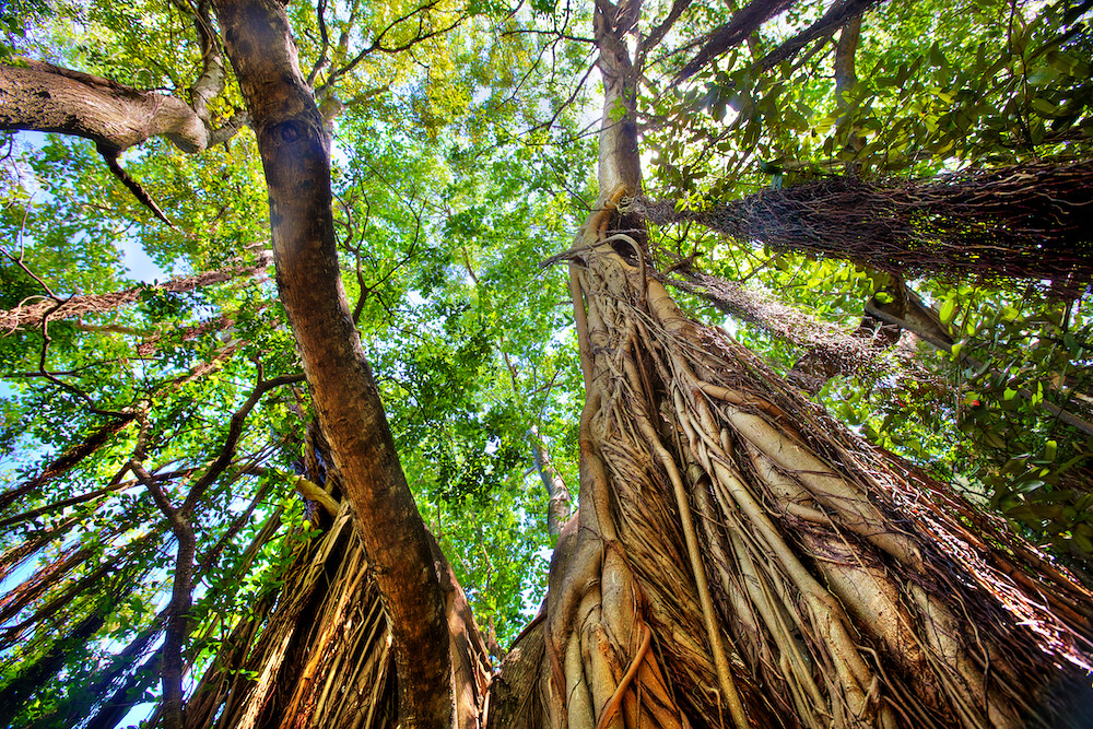 Strangler Fig - Banyan Tree