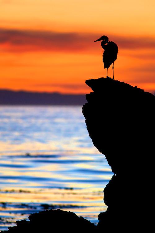 Elegant Egret Silhouette at Sunset - Little Corona, Corona del Mar State Beach, CA