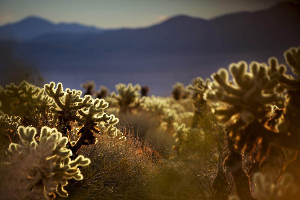 Teddybear Cholla Cactus at Sunrise - Cholla Cactus Garden, Joshua Tree