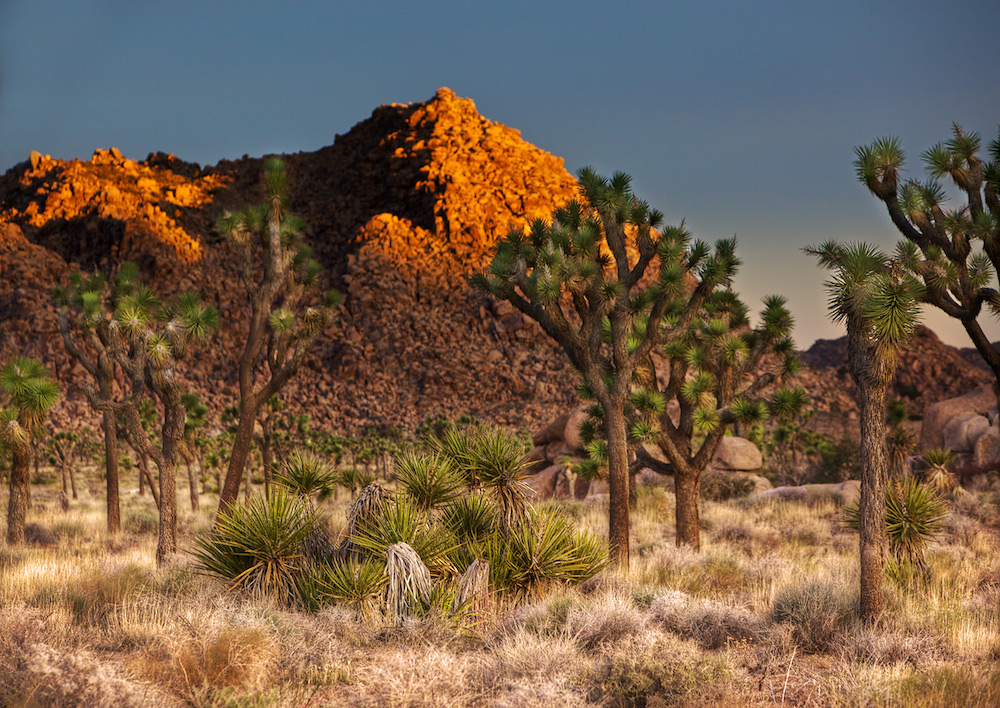 Sunrise in the Desert - Joshua Trees, Yucca, and a Rocky Mountain