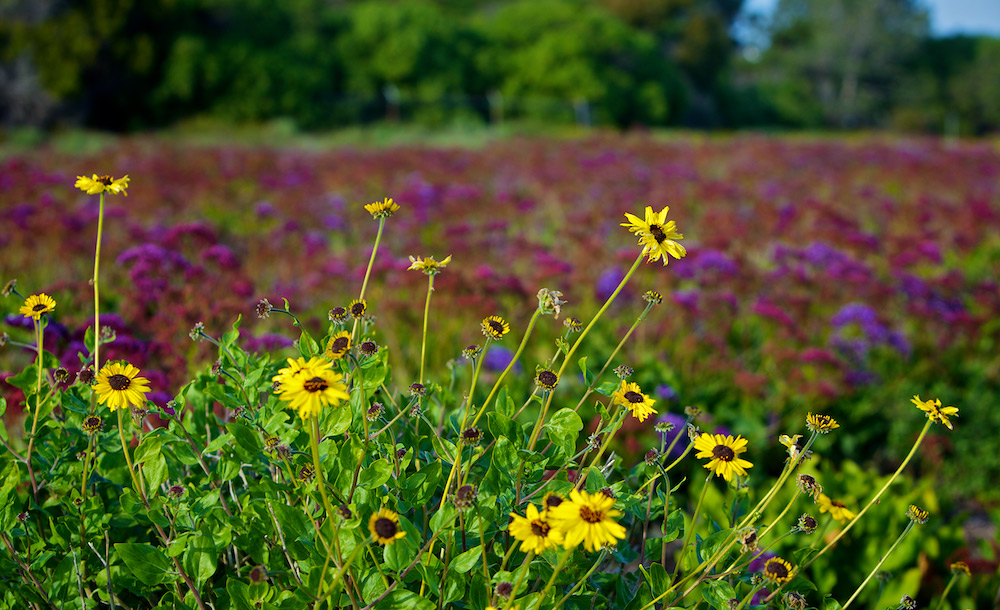 Field of Color in Solana Beach: Brown-Eyed Susan Flowers