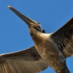 Pelican from Below