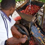 Coffee Fruit Wet Processing
