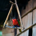 Pet Black Capped Lorikeet
