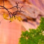 Yellow Fall Leaves with Orange Canyon Backdrop