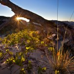 Manzanita Starburst - Sunrise with Deadwood