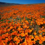 California Poppies: Antelope Valley