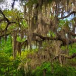 Live Oaks Draped in Spanish Moss - Wekiwa Springs